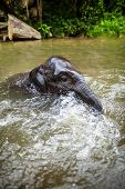 Baby elephant plays in the middle of the waterfall, river with its head poking out. There are many conservation park in Chiang Mai. poster