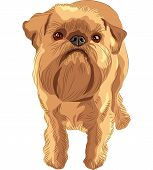 closeup portrait of the toy dog Brussels Griffon breed poster