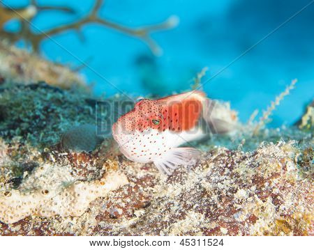 Freckled hawkfish paracirrhites forsteri sitting on rock at a tropical coral reef poster