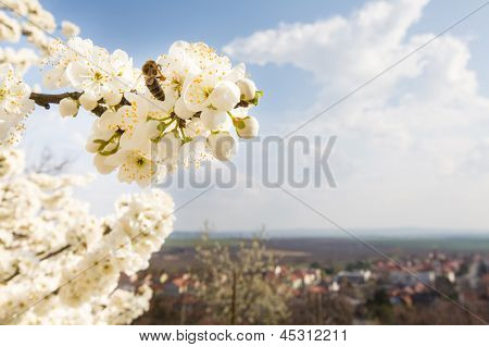 Flowering Tree With Bee And European City Behind