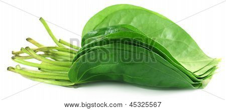 Popular edible betel leaf of Indian subcontinent