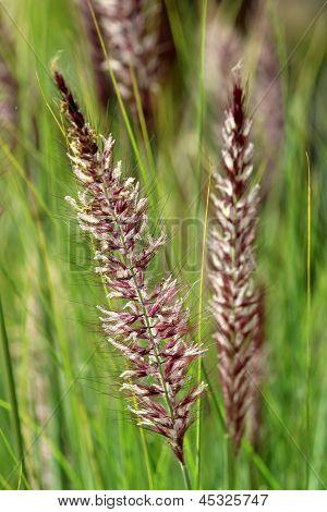 Pennisetum Setaceum, A Perennial Bunch Grass
