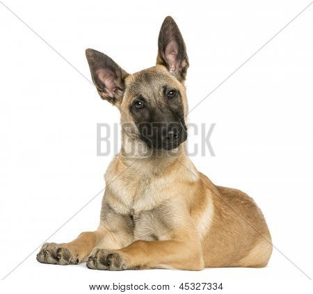 Young Belgian Shepherd lying down and staring, 5 months old, isolated on white poster