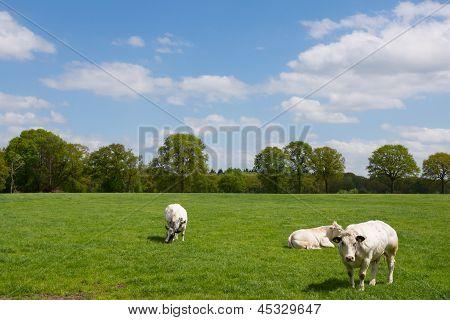 White Cows In Rural Dutch Landscape