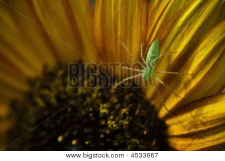 Lynx Spider On Sunflower