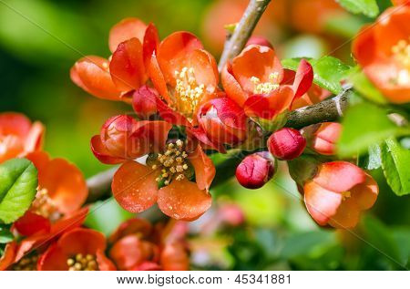 Japanese Quince tree blooming in may.