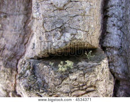 Cottonwood Bark