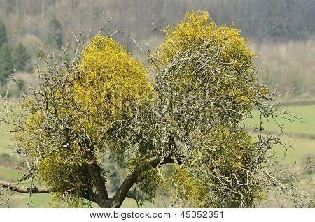 Mistletoe in orchard tree