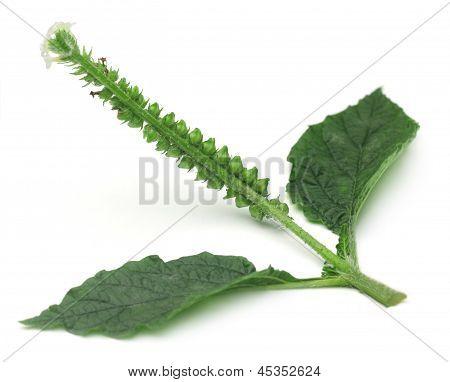 Medicinal Hatishura plant of Indian subcontinent