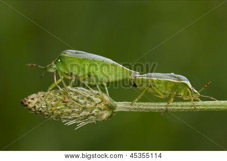 Heteroptera Pentatomidae  Reproduction