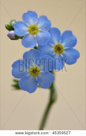 Close Up Of A Blue  Anagallis Foemina