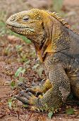 Land Iguana that lives on Galapagos Islands taken in 2008 poster