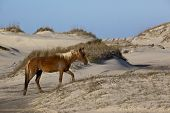 Wild horses graze in the protected northern tip of the Outer Banks in Corolla, North Carolina poster