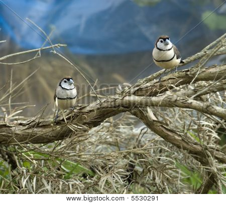 australian double bar finches sitting on a branch of paperbark tree poster
