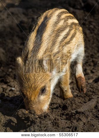 One Young Boar Pig
