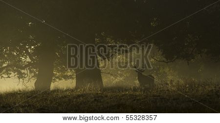 Red Deer In A Misty Morning