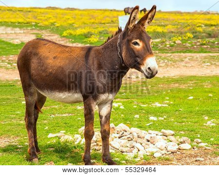 Donkey Farm Animal Brown Color Standing On Field Grass (the Donkey Or Ass, Equus Africanus Asinus Is