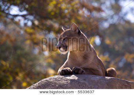 Cougar, Queen Of Her Domain