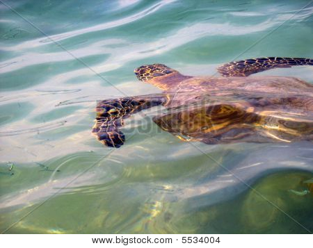 Swimming Hawaiian Sea Turtle