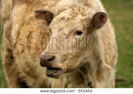 Blearing Cow
