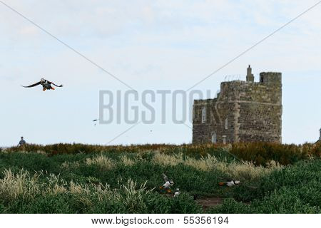 Flying Puffin On The Farne Islands