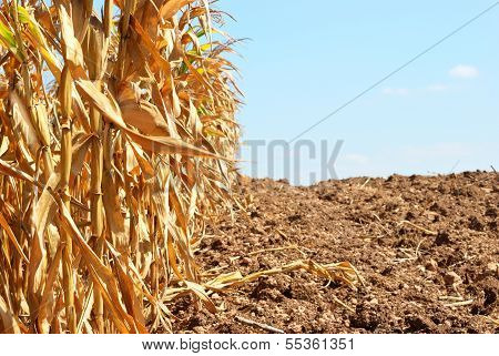 Corn Field Background