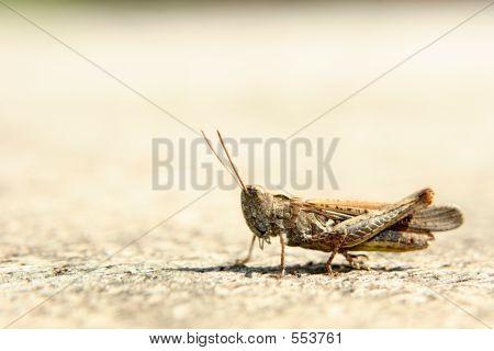 Beige Grasshopper