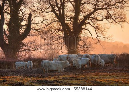 Cotswold Cattle