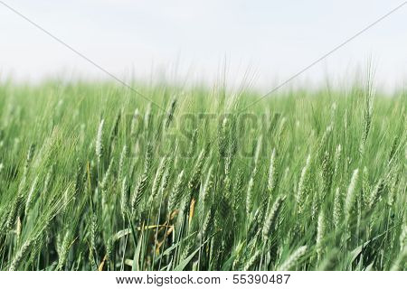 Hazy Wheat Field
