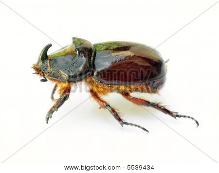 Scarab beetle isolated on a white background. poster