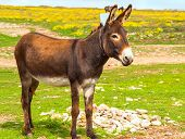 Donkey Farm Animal brown color standing on field grass (The donkey or ass Equus africanus asinus is a domesticated member of the Equidae or horse family) poster