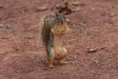 Squirrel standing on hind legs with tail up poster