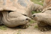 Two African aldabra tortoises look loving at each other. poster