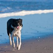 Young dog running on the beach near the waves poster