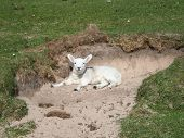 Lamb sitting in a hole poster