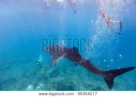 Whale shark surrounded by snorkelers and divers in Indian ocean at Maldives poster