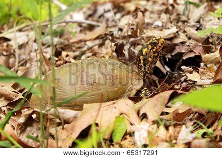 Three Toed Female Eastern Box Turtle On Forest Floor
