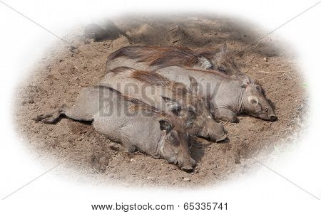Four Adult Warthogs Resting