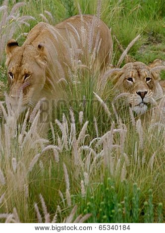 Lionesses hiding in tall grass.