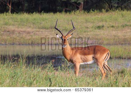 Impala - African Wildlife Background - Posture of Pride and Elegance