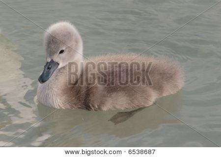 Swan chicken