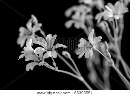 Little white flowers on black background