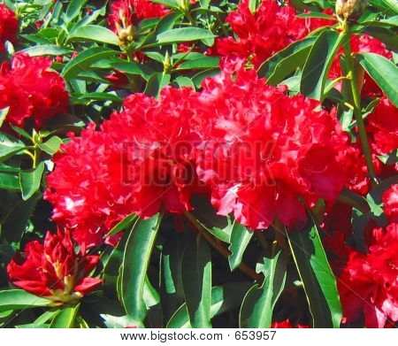 Red Rhody Blooms