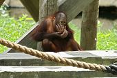 baby or young orangutan sitting and eating poster