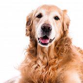purebred golden retriever dog close-up on white background poster