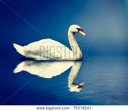 Vintage retro effect hipster style image of Mute Swan (Cygnus olor)