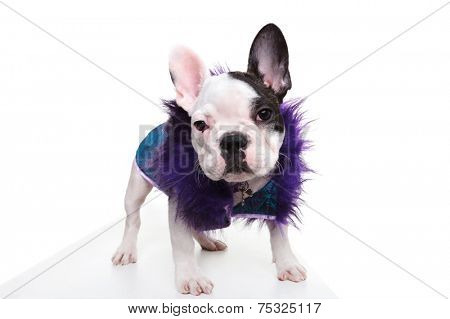 pimp looking dressed french bulldog puppy standing on white background and looks at the camera