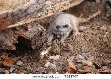 Meerkat kit, baby