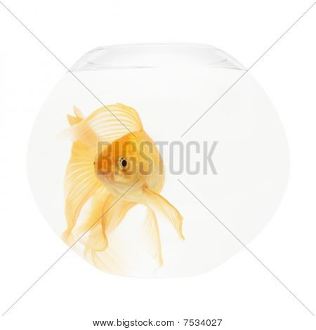 A golden fish in aquarium isolated on white. poster