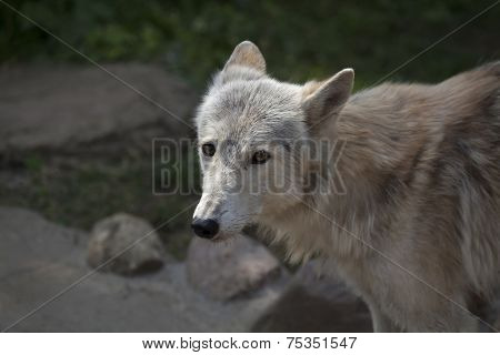 Stare of a molting polar wolf female. Arctic beast is looking forward coming summer. Peaceful eyes of a very dangerous raptor of the severe North. poster
